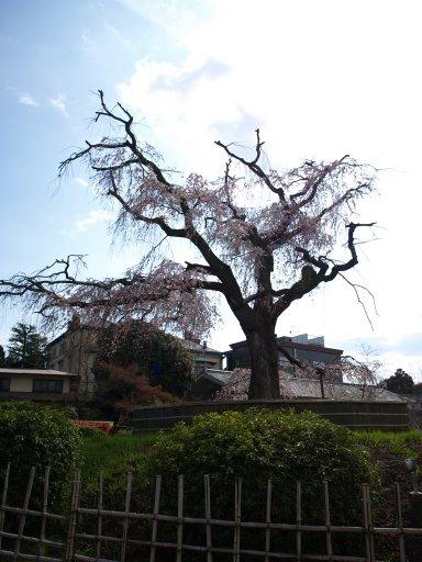 円山公園 祇園の夜桜 枝垂桜