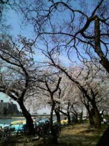 武庫川河川敷の桜 2009年